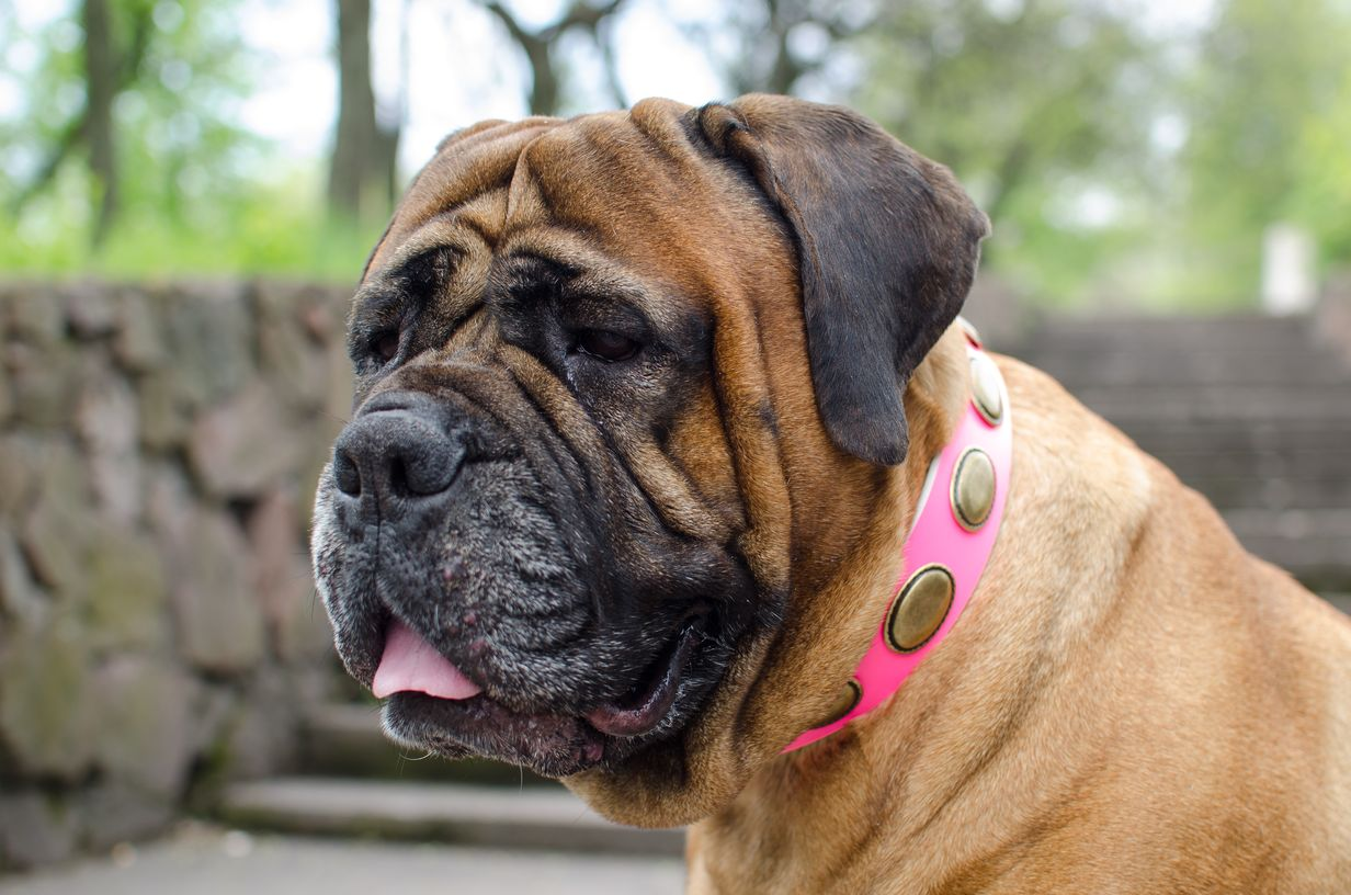 Luxury decorated pink leather Bullmastiff collar